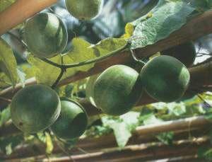 Benefits of  monk fruit- 250x sweeter than sugar