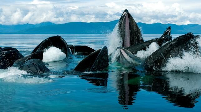 Alaska. Whales. Blue water.: Killers Whales, Whales Watches,  Orcinus Orcas, Buckets Lists,  Grampus, Humpback Whales,  Sea Wolf, Blue Whale,  Killers