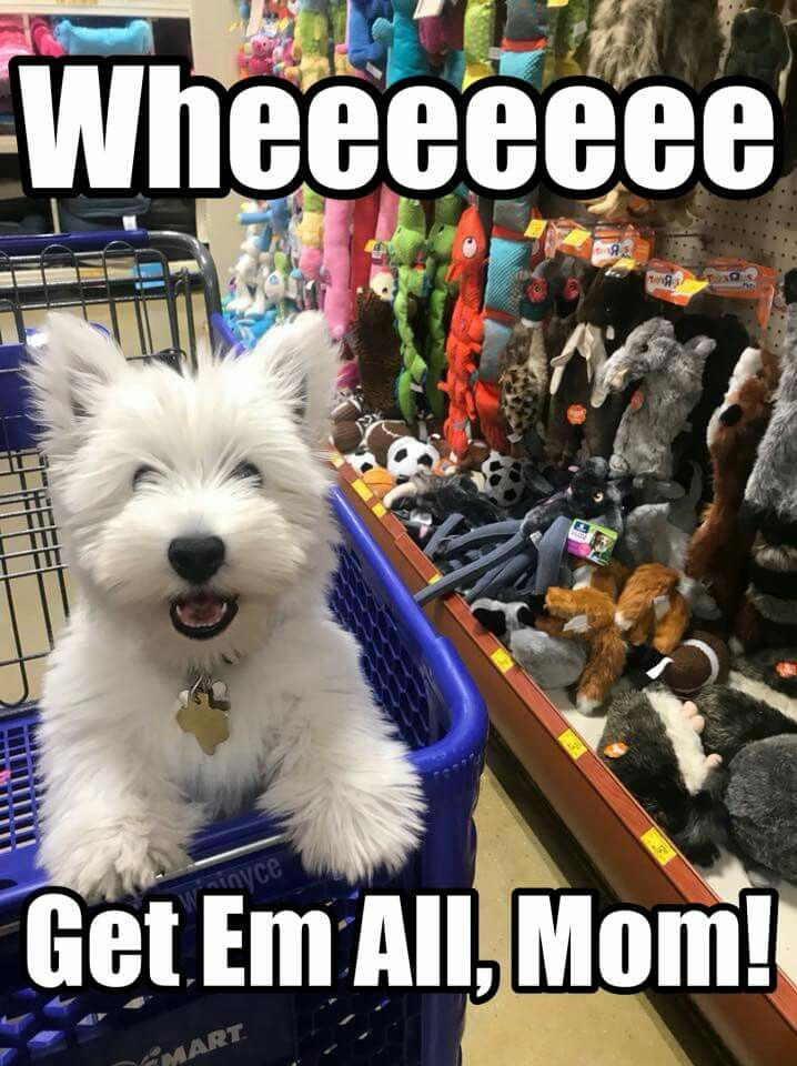 Image result for westie meme
