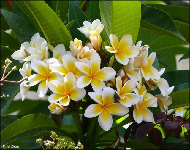 Grow the White Frangipani for Its Gorgeous Tropical Flowers