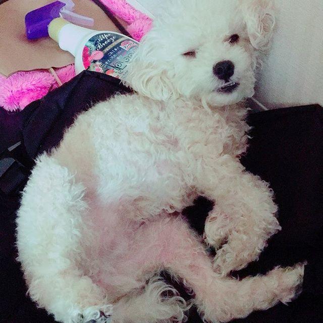 そんな嫌な顔せんでも😅  #dog#犬#toypoodle#トイプードル#2歳#わんこ#愛犬#天使#癒し#女の子#クリーム#可愛い#変顔#変顔犬#これでも女の子#下品#笑#いつも近くにいる#眠い
