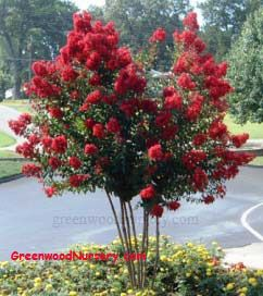 Dynamite Crape Myrtle Trees | Small Flowering Tree