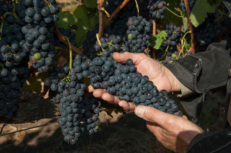 #grapes #winery #wine #redwine #whitewine #vines #vineyards #organic #healthy #cleanwine #drw #deerifeld #ranch #winery #visit #explore #sonomavalley #sonoma #california #tasting #kenwood #harvest