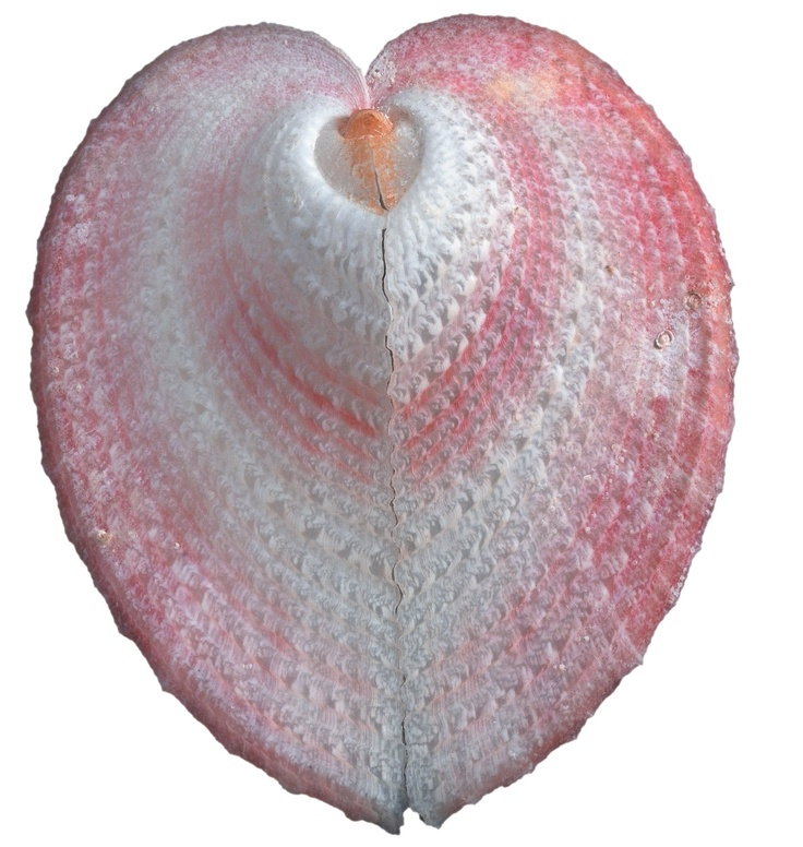 Heart Shell....I have in my collection/WHERE DID U GET IT, AND ITS MOST BEAUTIFUL!