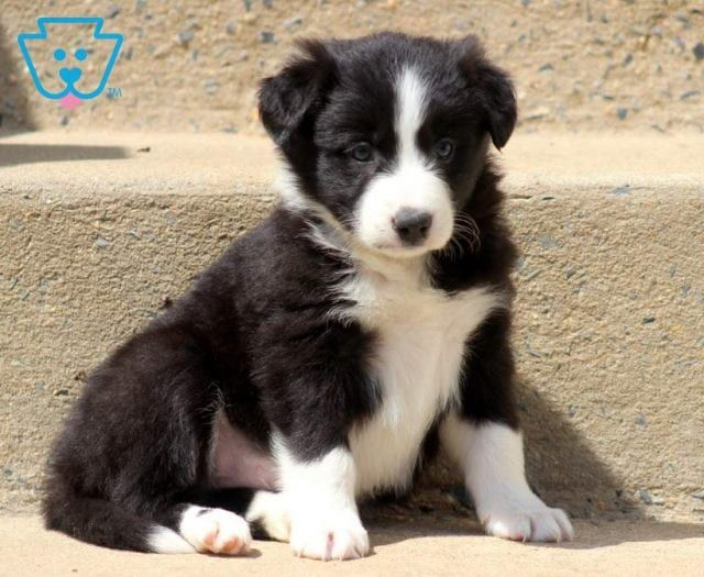 Domino Border Collie Puppy For Sale Keystone Puppies In 2020 Collie Puppies For Sale Border Collie Puppies Collie Puppies