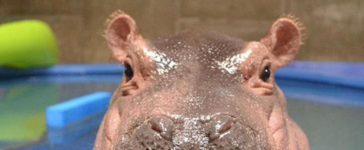 Please Enjoy This Virtual Birthday Card I Made For My Queen, Fiona the Hippo https://www.popsugar.com/news/Fiona-Hippo-Adorable-Photos-First-Birthday-44524388