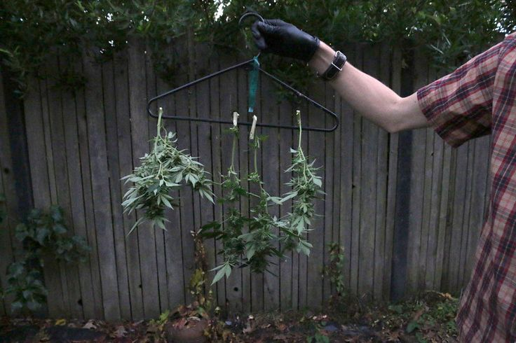 Harvesting, drying and curing your backyard marijuana plants.