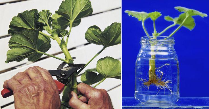 Goda råd som hjälper dig lyckas när du vill ta sticklingar och göra fler plantor av dina krukväxter.
