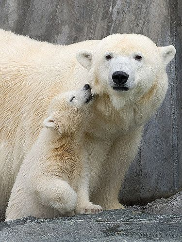 "https://flic.kr/p/4FTzWi | Wilbär 1 | Yesterday, the local zoo (the ""Wilhelma"" in Stuttgart) presented its baby polar bear to the public. Today I made a visit. In contrast to the famous Knut from Berlin, Wilbär is raised by his mother Corinna (which was the reason for all the secrecy, as the responsible persons of the zoo didn't want to disturb the relationship between Wilbär and his mother). More pictures of Wilbär."