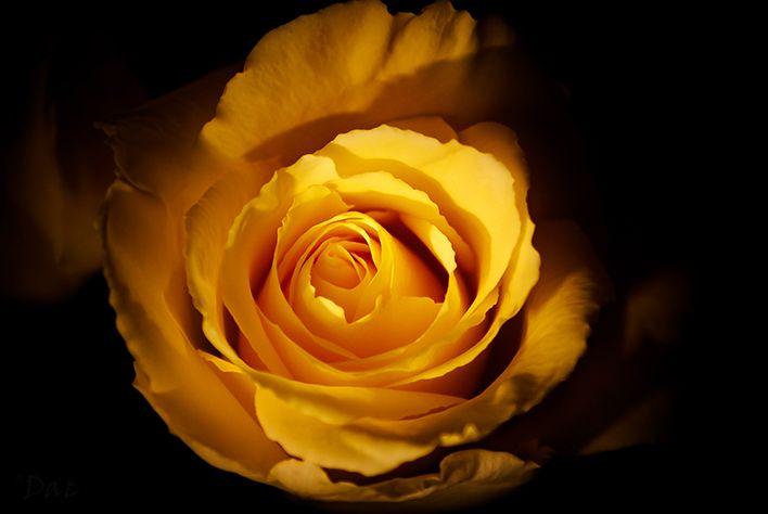 Yellow rose Photo by Khatti Von Leigh