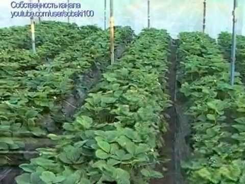 Секреты выращивания клубники #1 - YouTube