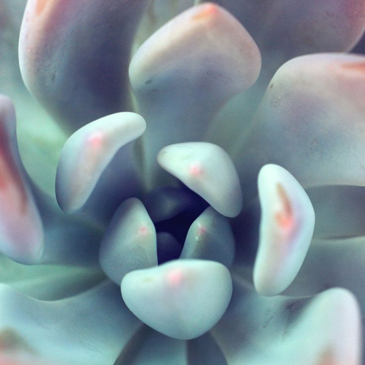 Succulent Fine Art Photography - A beautiful close up macro image of a pastel colored succulent photographed at the perfect moment. Soft pastel shades of green, mint, pink and even some purple will enhance any home decor.  Available Sizes This echeveria succulent fine art print is available in a variety of popular sizes: 5x5, 5x7, 8x8, 8x10, 10x10, 11x14, 12x12, 16x20, 20x30, 24x36. Simply select the size you want from the drop down menu above and add it to your cart.