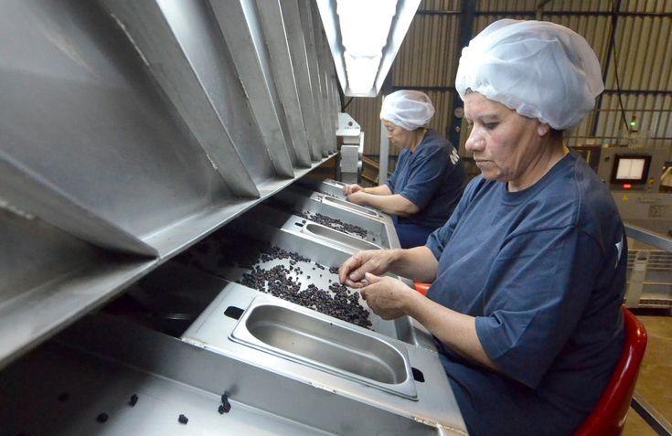 Cómo cultivar uvas para la producción de pasas