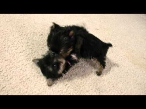 Priceless Yorkie Puppy Worlds Smallest Teacup Yorkie Puppies playing tug-a-war - YouTube