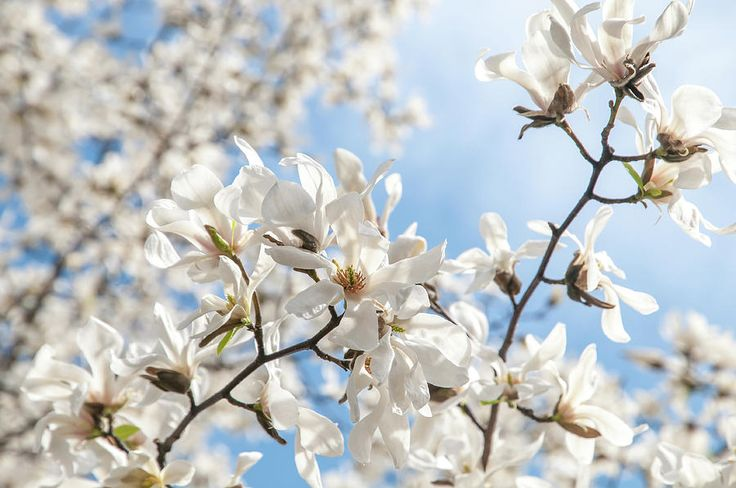 Spring Lightness. White Magnolia Photograph by Jenny Rainbow