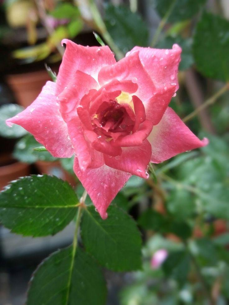 Rosa rococo