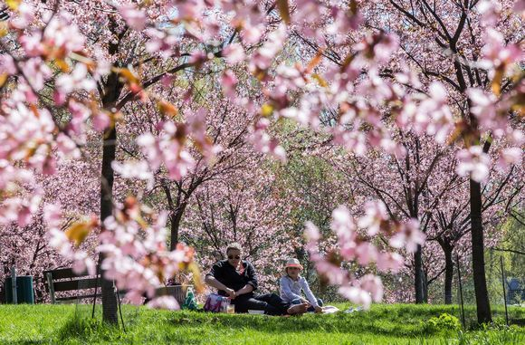 Roihuvuoren kirsikkapuisto. / Little cherry tree park in Roihuvuori, eastern Helsinki blooming around May.