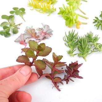 Miniature Garden Plants, Large Sedum Cuttings For Larger Miniature Gardens, Fairy  Gardens, Barbie