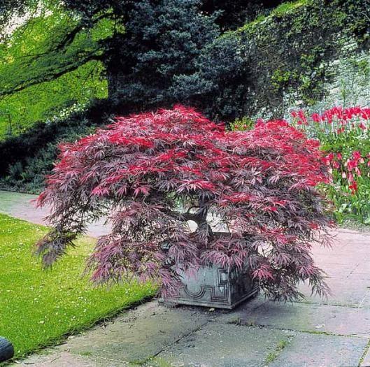 17 best images about jardin japonais on pinterest palmas - Erable du japon pourpre ...
