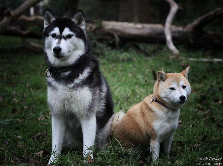 Siberian Husky And Shiba Inu Google Search Leuke Honden