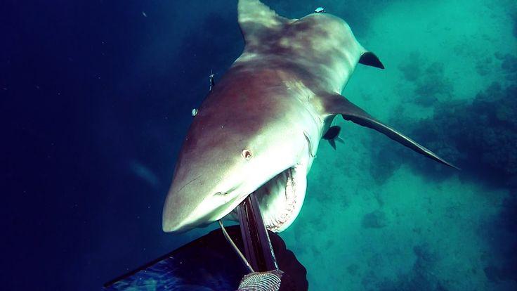 Shark Attack - Bullshark Attacks Spearfisherman