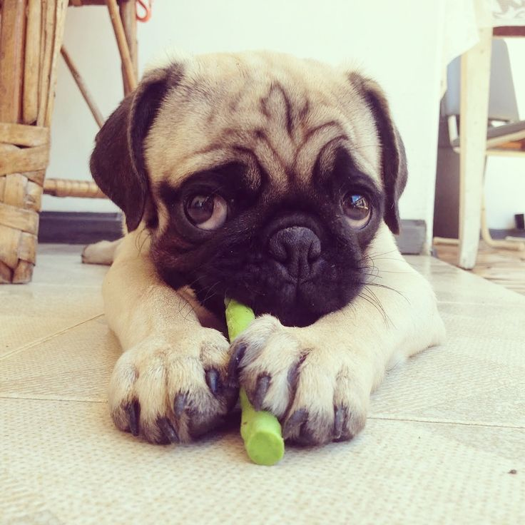 'this chew is MINE...all mine!'