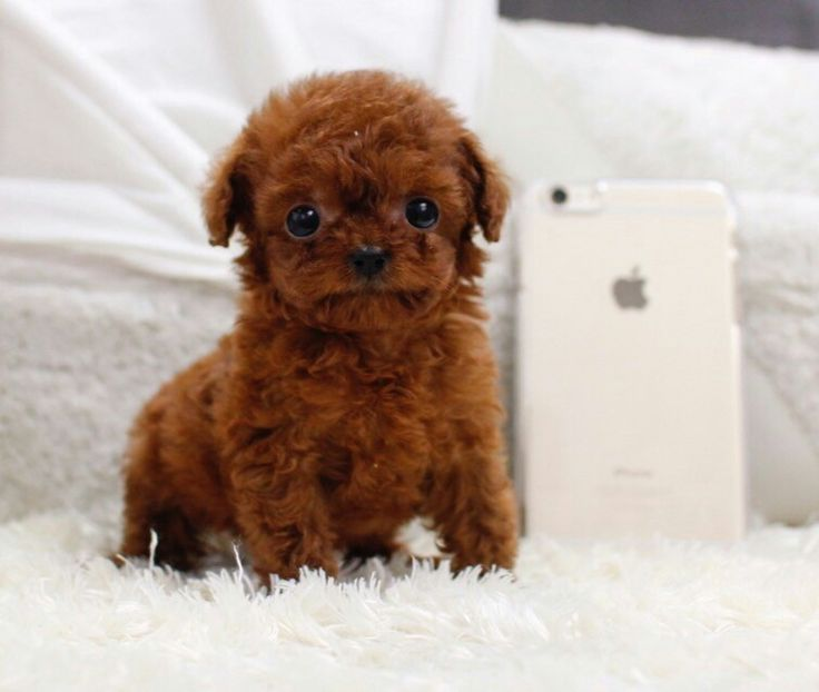1000+ ideas about Poodle Micro on Pinterest | Poodle micro ...