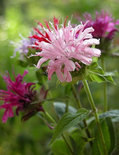 Bee Balm (Monarda Didyma) - great flower, but Plant This Instead author suggests using Monarda fistulosa, or wild bergamot; or eastern bee balm. Regular bee balm can spread too much or develop mildew.