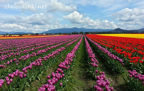 Фестиваль тюльпанов в Marysville штат Вашингтон