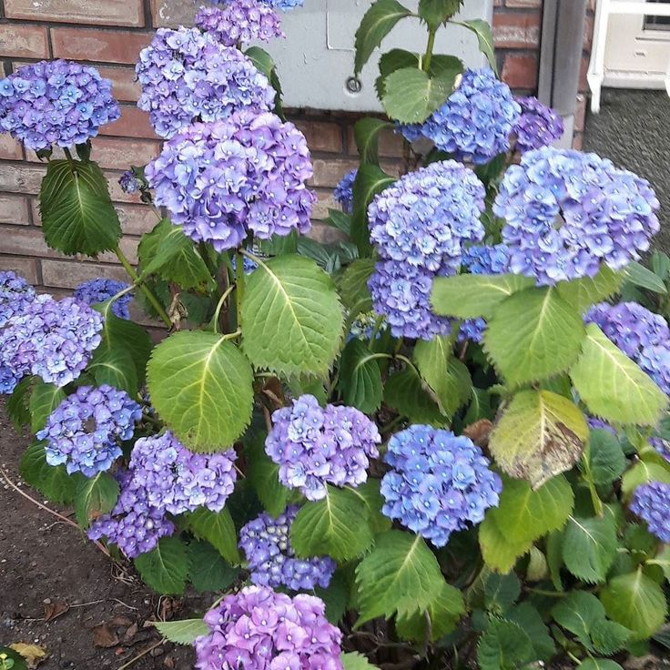 It's the most wonderful time of the year: hydrangea season!