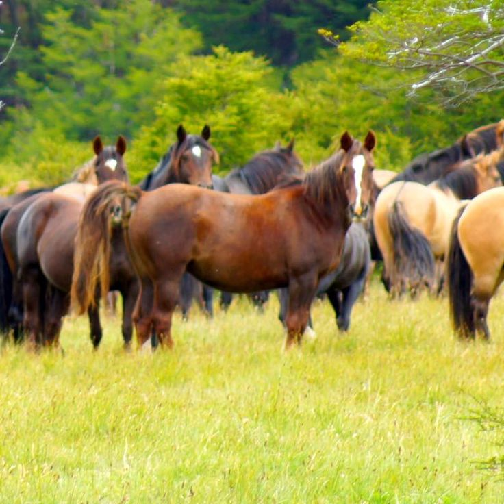 Closeup of the wild horses of Patagonia, Chile !