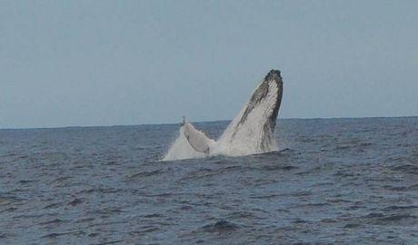 Séoul se résigne à abandonner la chasse à la baleine