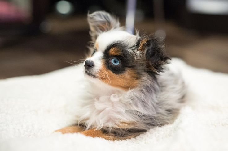 cute toy australian shepherd puppy - @mishabarkton #puppies #puppy #dog #cutepuppies #puppygram #cutepuppy #pups #pup #love #bae #cutepet #doglover #pet #australianshepherd #dogmodel #adorable #puppymodel #puppyoftheday #dogoftheday #cute #happy #mishabarkton #toyaussie #miniaussie #toypuppy #aussie