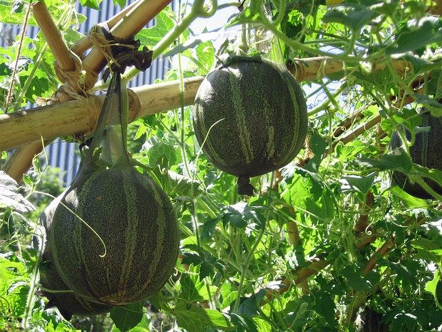 más de 25 ideas increíbles sobre cultivo de sandías en pinterest