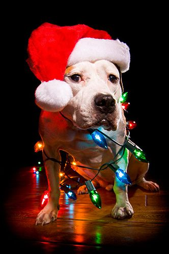 So tempted to wrap Roux in some pink Christmas lights. She would be so cute, and she would definitely have a similar worried look as this guy!