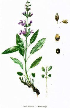 Zsálya tejelválasztást serkentő, torokfájásra teaként iható.