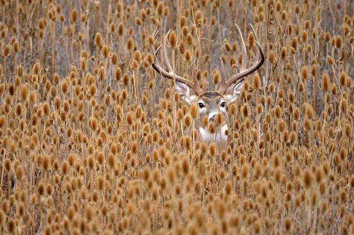 Притаившийся белохвостый олень.