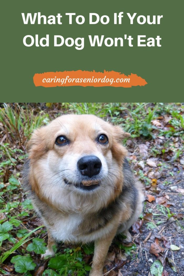 What To Do If Your Old Dog Won T Eat Caring For A Senior Dog Elderly Dog Care Old Dogs Senior Dogs Care