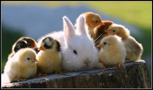 Tumblr: Rabbit, Baby Chick, Friends, Baby Bunnies, Easter Bunnies, Ducks, Baby Animal, Babychick, Guinea Pigs