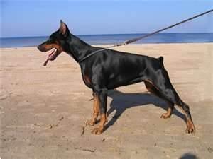 Where  my dogs at Dobermans Pinscher, Dogs Breeds, Large Dogs, Beach Dobermans, Painting Dobermann, Dobermann Pinscher, Dobes Dobermans, Beautiful Dogs, Female Dobermans