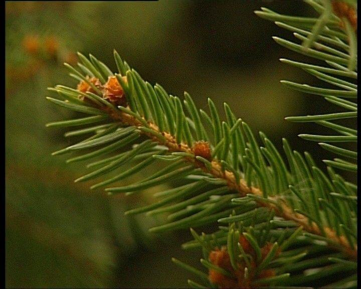 Den en spar. Wat is het verschil tussen een den en een spar. Er zijn verschillende soorten bomen, maar sommige lijken erg op elkaar en zijn moeilijk uit elkaar te houden. Een den en een spar zijn allebei naaldbomen, maar toch zijn er verschillen. In dit filmpje zie je de verschillen tussen de den en de spar.