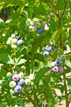 Blueberry Bushes growing tip