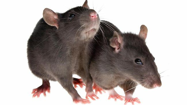 How to Get Rid of Rats Naturally? In this article, we will outline some of the effective ways to get rid of rats. Rats are warm-blooded rodents which have large teeth in front of their mouth. They are found everywhere in the world. With their teeth they can chew almost anything. They are carriers of parasites and diseases. If... #BestWayToGetRidOfMice, #BestWayToGetRidOfMiceInKitchen, #BestWayToGetRidOfMiceInYourHouse, #CatchAMouse, #GetAMouseOut, #GetRidOfCockroachesFast,