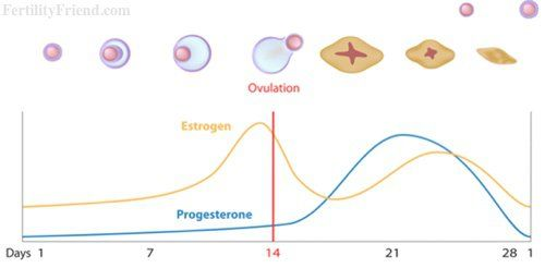 Ovulation Calendar by Fertility Friend - Fertility Tracker, Ovulation Calculator and Fertility Chart