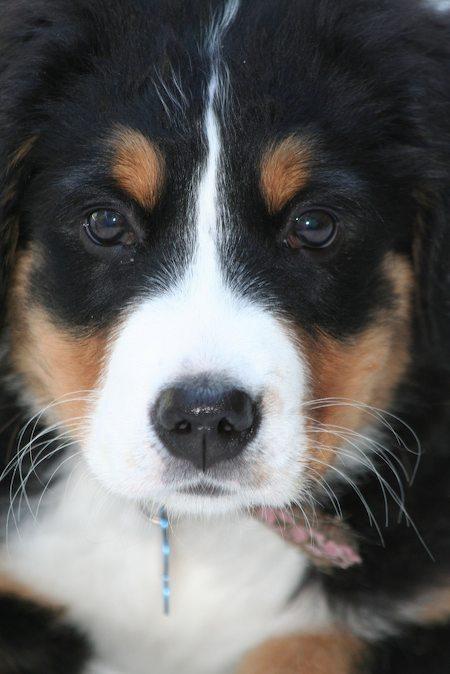 Bernese Mountain Dog ♡... re-pin by StoneArtUSA.com ~ affordable custom pet memorials for everyone