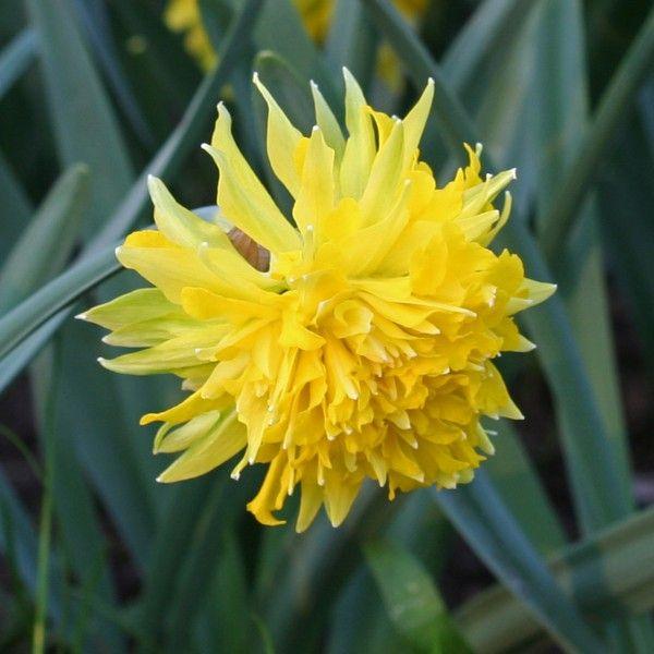 Eine gefüllte Narzissenblüte! Narcissus 'Rip van Winkle' - gepflanzt werden die Blumenzwiebeln im Herbst. Online erhältlich bei www.fluwel.de