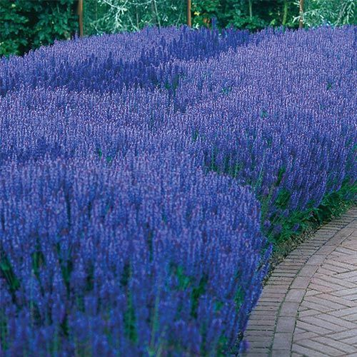 Blue Queen Salvia - Blooms profusely for months! Enjoy summer-long beauty year after year with this brilliant violet-blue Salvia, a member of the mint family. Heat- a