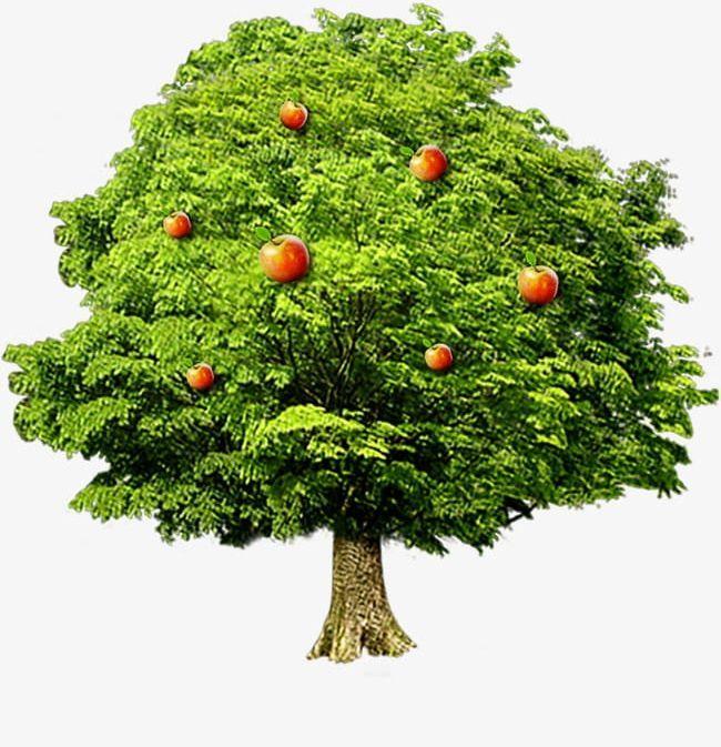 Png Apple Tree Apple Tree Rose Apple Tree Apple Tree Drawing