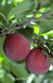 Beauty Japanese Plum - Monrovia 4-10 sun 250 chill hours. self-fertile. This smaller Japanese Plum tree offers a tasty crop of sweet flavorful fruit in mid July