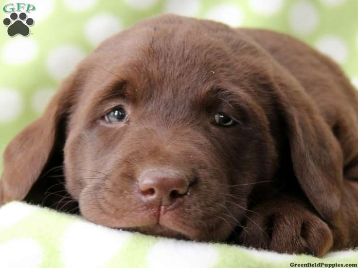 Labrador Retriever-Chocolate Puppies For Sale In PA ...
